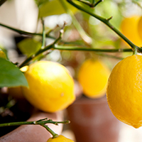 Growing Citrus in South Carolina
