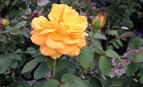 Week's Roses