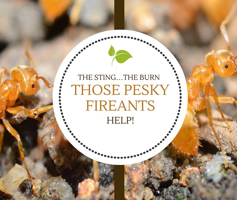 The Sting…The Burn…Those Pesky Fire Ants!!