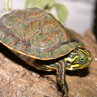 river cooter turtle