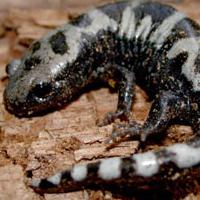 marble salamander
