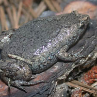 narrowmouth toad
