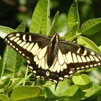 swallotail butterfly