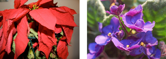 Poinsettia Trade-In January 5-28