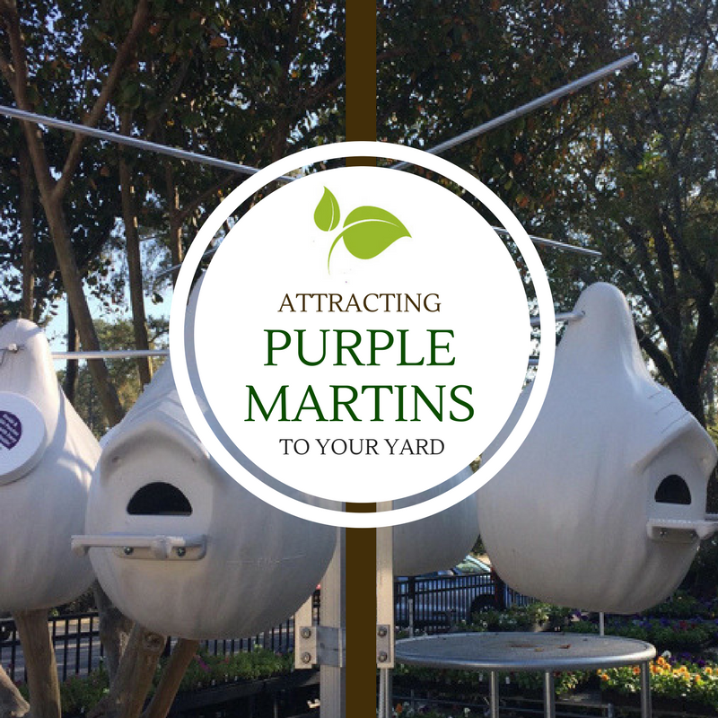 Attracting Purple Martins to Your Yard