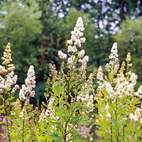 Meadowsweet Spirea