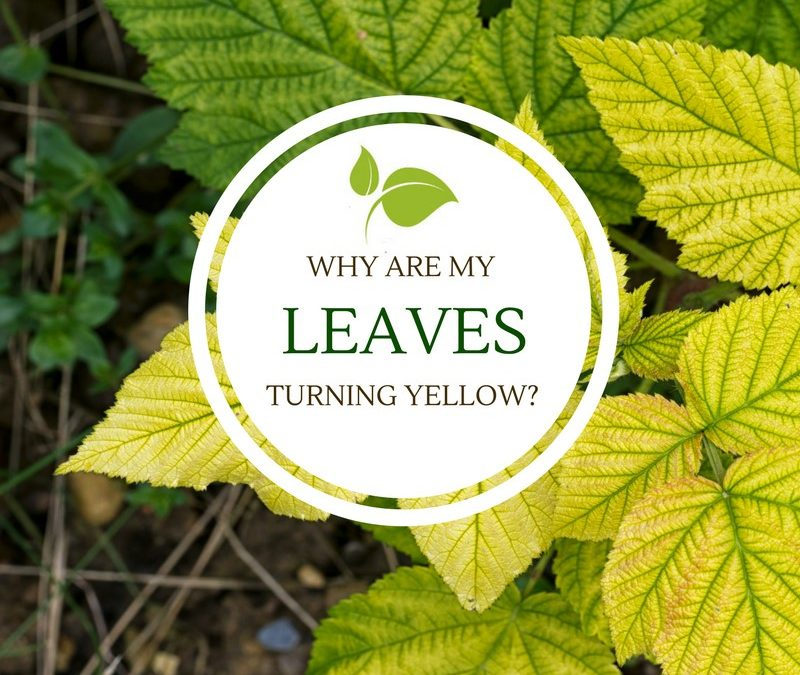 Why are my leaves turning yellow?