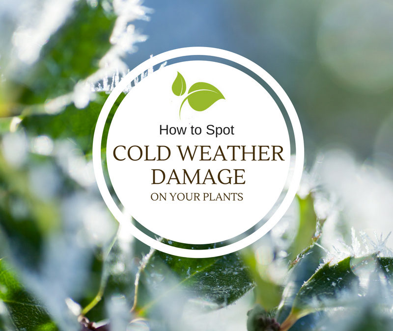 How to Spot Cold Weather Damage on Your Plants