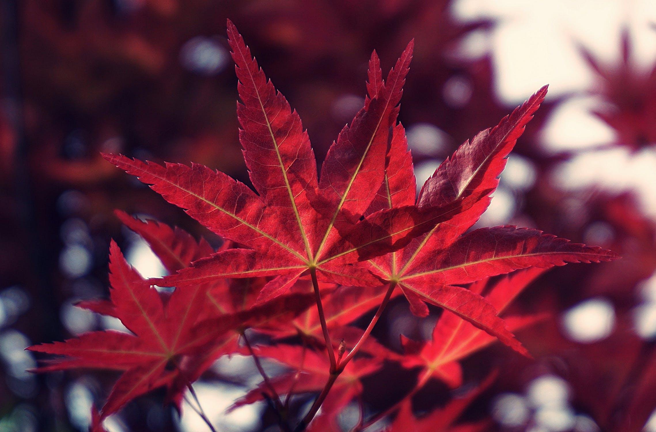 Japanese Maples Postponed Wingard S Market