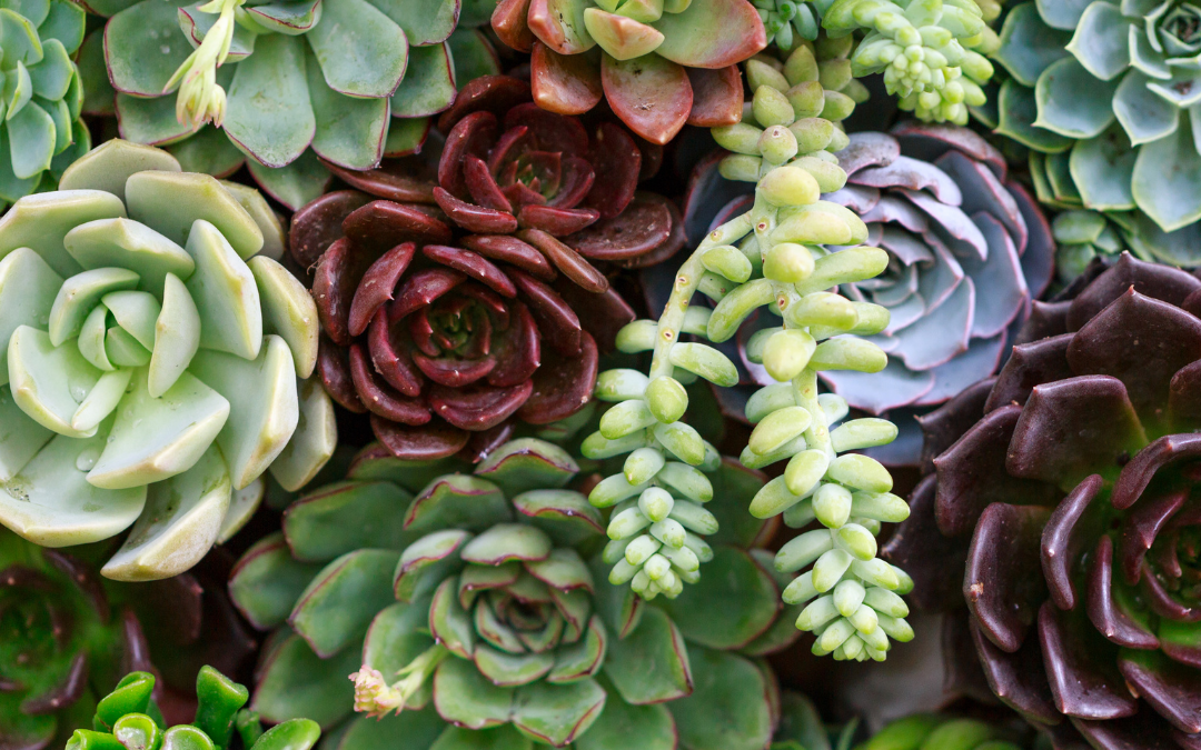 So, What's A Succulent?